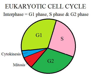 Im doing a project on cytokinesis , but i dont know what to write about?