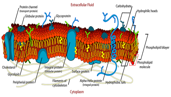 what is the cell membrane made out of