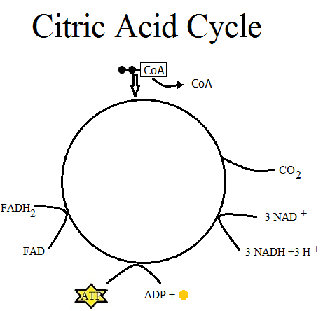 Citric Acid Cycle Steps Simplified Citric Acid Cycle