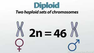 Image Gallery diploid definition
