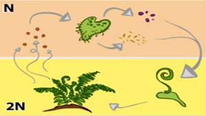 A Fern Life Cycle: Plant Reproduction Without Flowers or Seeds ...