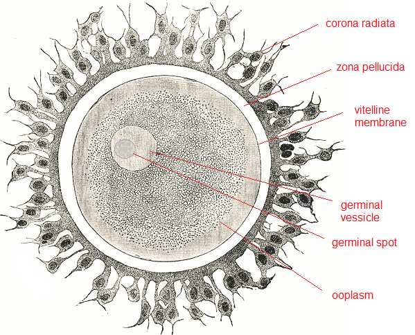 Structure of an Ovum