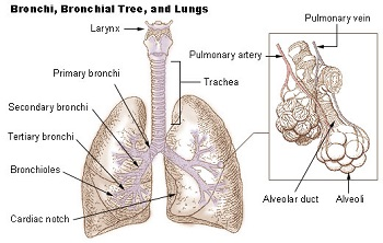 respiratory system: function & physiology | study, Cephalic Vein