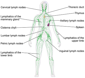 what is an organ system? - definition & pictures - video & lesson, Cephalic Vein