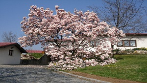 Picture of a Magnolia tree.