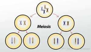 Meiosis Illustration