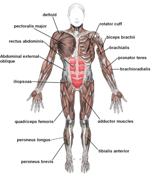 what is an organ system? - definition & pictures - video & lesson, Muscles