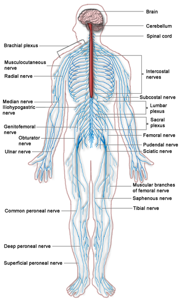 peripheral nervous system: definition, function & parts - video, Cephalic Vein