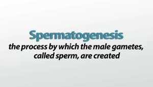 Spermatogenesis Definition