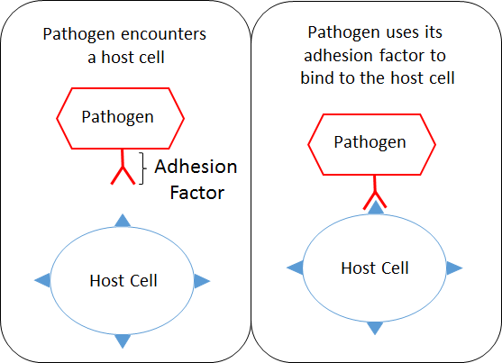 Action of Adhesion Factors