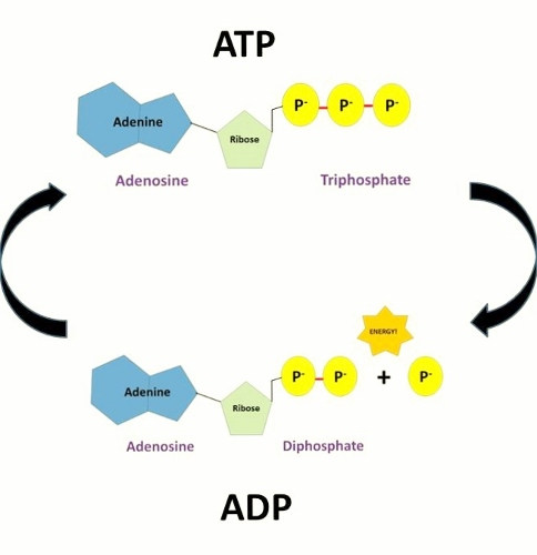 Image result for atp biology examples