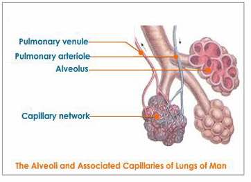 Capillaries and Alveoli