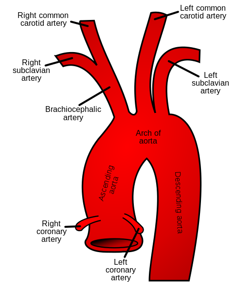 the aorta: valves & anatomy | study, Human Body