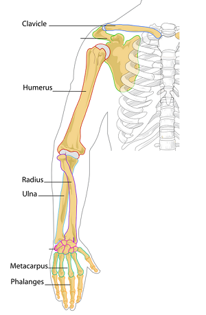 long bones in the human body | study, Skeleton