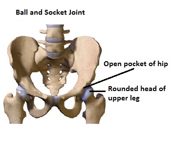 ball & socket joint: definition & examples - video & lesson, Human body