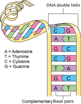 DNA Lesson for Kids: Definition & Structure | Study.com