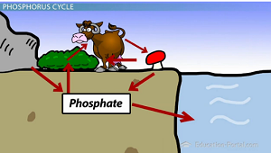 Biogeochemical Cycling and the Phosphorus Cycle - Video & Lesson ...