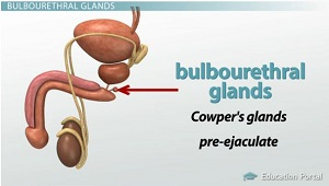 male reproductive system: accessory gland functions - video, Human Body