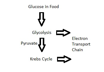 List the Three steps of cellular respiration and describe what accurs in each step?