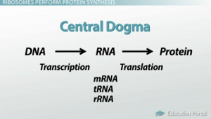 Central Dogma Visual