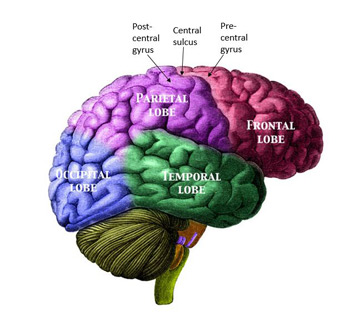 the description of the four major lobes of the human brain Read about the four lobes of the brain and their function, which determine the way we think, react and associate with our environment of all the parts of the brain, the cerebrum or cortex is the largest part, which is further sub-divided into four lobes frontal lobe, parietal lobe, occipital lobe, and temporal lobe.