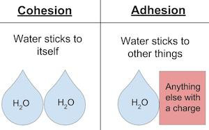 adhesion and cohesion Cohesion, adhesion, and surface tension of water and how they relate to hydrogen bonding.