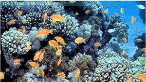Coral Reefs Take Most Carbon Out of Short-Term Cycle