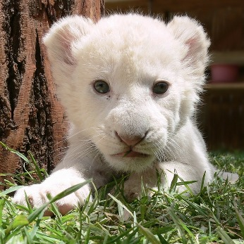 White Lion Facts: Lesson for Kids | Study.com