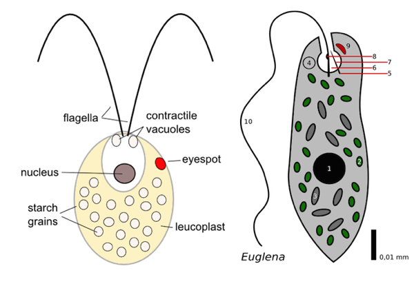 Contractile vacuoles in two  Vacuole Definition