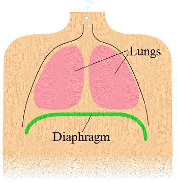 diaphragm definition – citybeauty, Human body