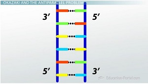 DNA Antiparallel