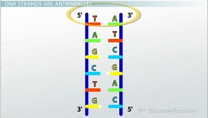 DNA Strands Antiparallel