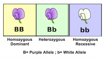 What are some examples of alleles? + Example