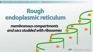 The Endomembrane System: Functions & Components - Video & Lesson ...