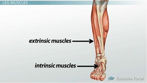 Extrinsic Intrinsic Muscles