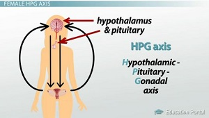 Female HPG Axis