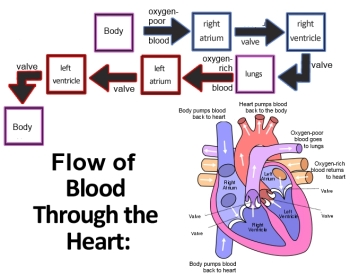 diagram of heart blood flow – citybeauty, Muscles