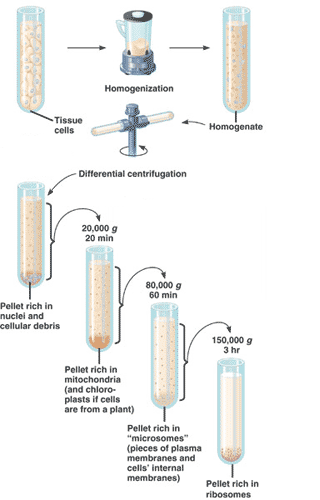 Cell Fractionation: Definition, Steps & Methods - Video & Lesson ...