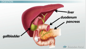 the gallbladder & liver: function & role in digestion - video, Human Body