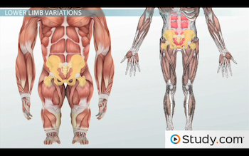 homologous structures: comparison of body structures across, Muscles