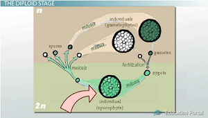 Diploid stage