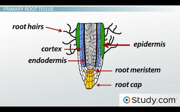 Image of cortex and endodermis