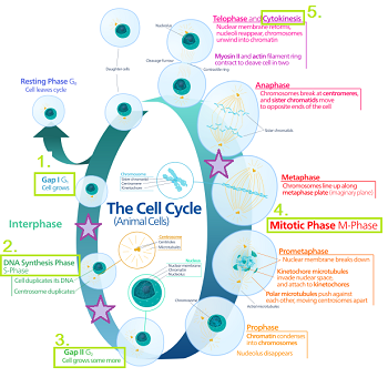 Worksheets Cell Cycle Regulation Worksheet cell cycle regulation worksheet the worksheet