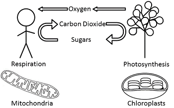 comparing and contrasting photosynthesis and cellular respiration In this lesson we will compare and contrast respiration and photosynthesis by considering the major steps occurring in each process, where these.