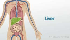 Image of the Liver