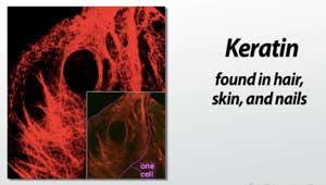 Keratin Keratin Structure And Function Ppt