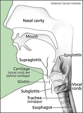 vocal tract anatomy & diagram study  : vocal system diagram - findchart.co