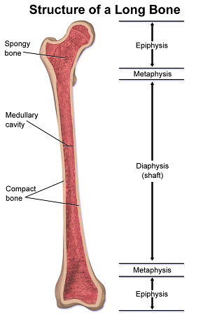 long bones in the human body | study, Cephalic Vein