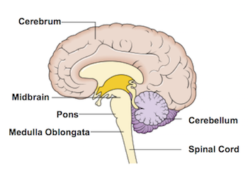 what is the medulla? - definition, function & location - video, Human Body