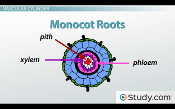 Image of monocot root structures